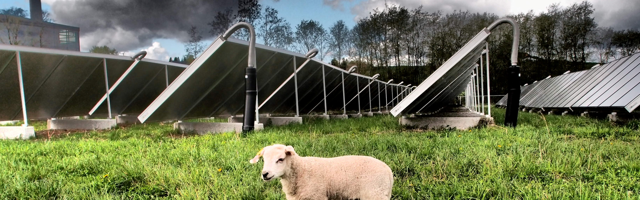 Et lam på gresset foran et solgfangeanlegg. Foto
